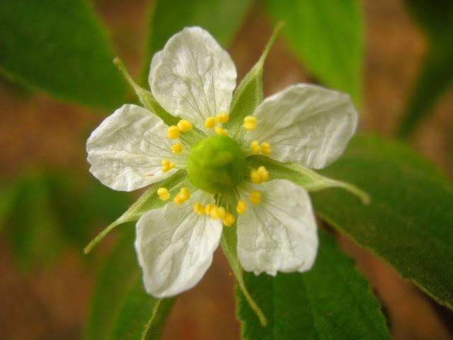 Flowers Calabura (Muntingia calabura)