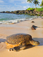 Makena beach turtle