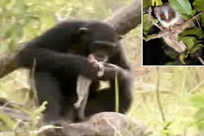 Primate Infanticide