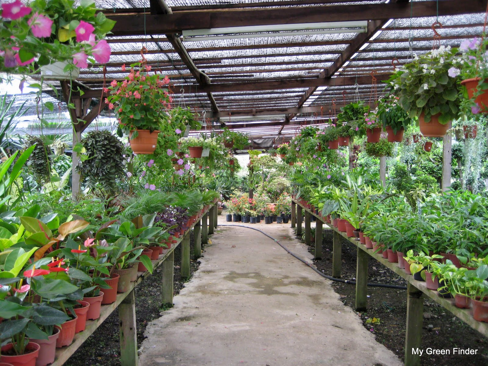 Vinca As Well Some Ferns While On The Racks Are Small Potted Plants Like Anthurium Oxalis Dwarf Palms Money Plant Alocasia Spathiphyllum