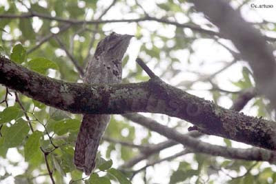 Christian Artuso: Birds, Wildlife: Neotropical owls - photo#13