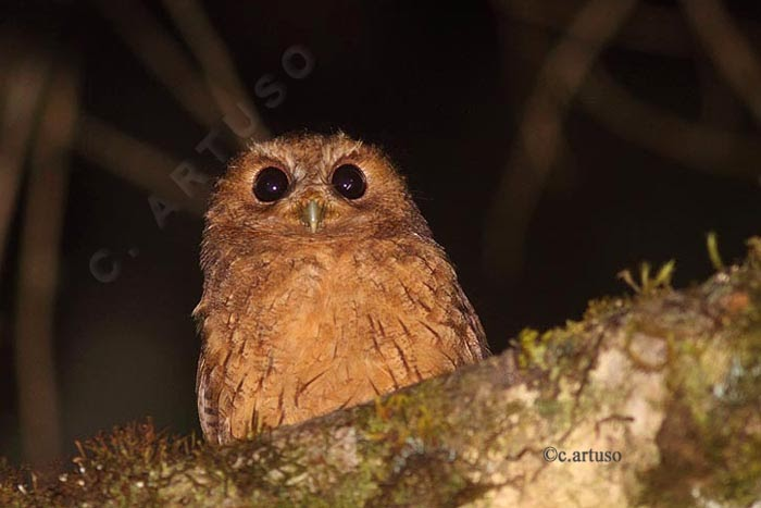 Christian Artuso: Birds, Wildlife: Owls of Peru – Part 3 ... - photo#1