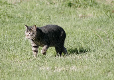 photo of Suspicious Cat, walking away pleased with himself - no cats were harmed in this exchange