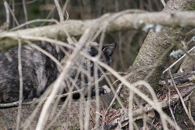 Tortoise shell cat, a feral hidden in the brush