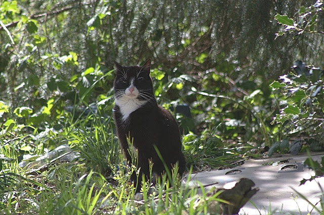 black and white feral tuxedo tom cat in the woods