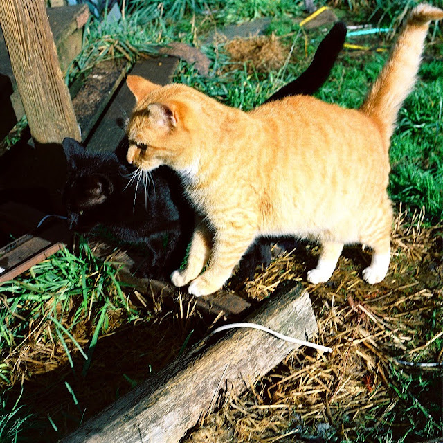 Orange tabby cat Gadget with feral black friend