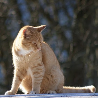 Feral Cat, Orange Coppertop portrait pose