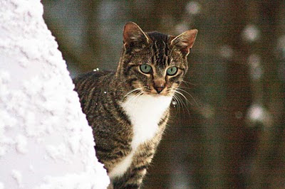 young tabby cat in snow of winter looks for food