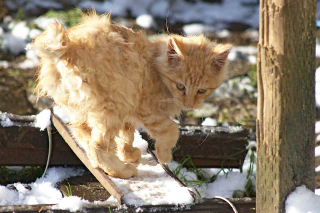 Flee, the fuzzy bobtail feral kitten, investigates some snow