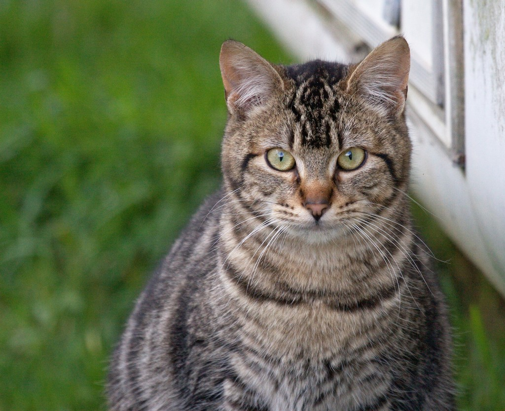 What Breed Is A Tabby Cat - Cats Types