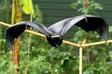 morcego voa