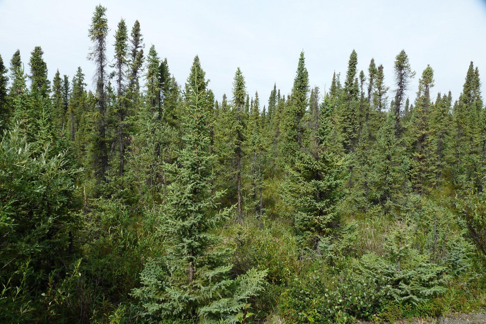 trees summer alaska - photo #15