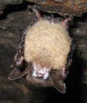 Brown bat hanging upside down with visible white funguns on snout