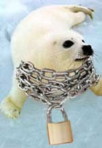 White seal pup with chains and padlocks around its neck