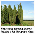 Hops are one of the main ingredients in beer brewing