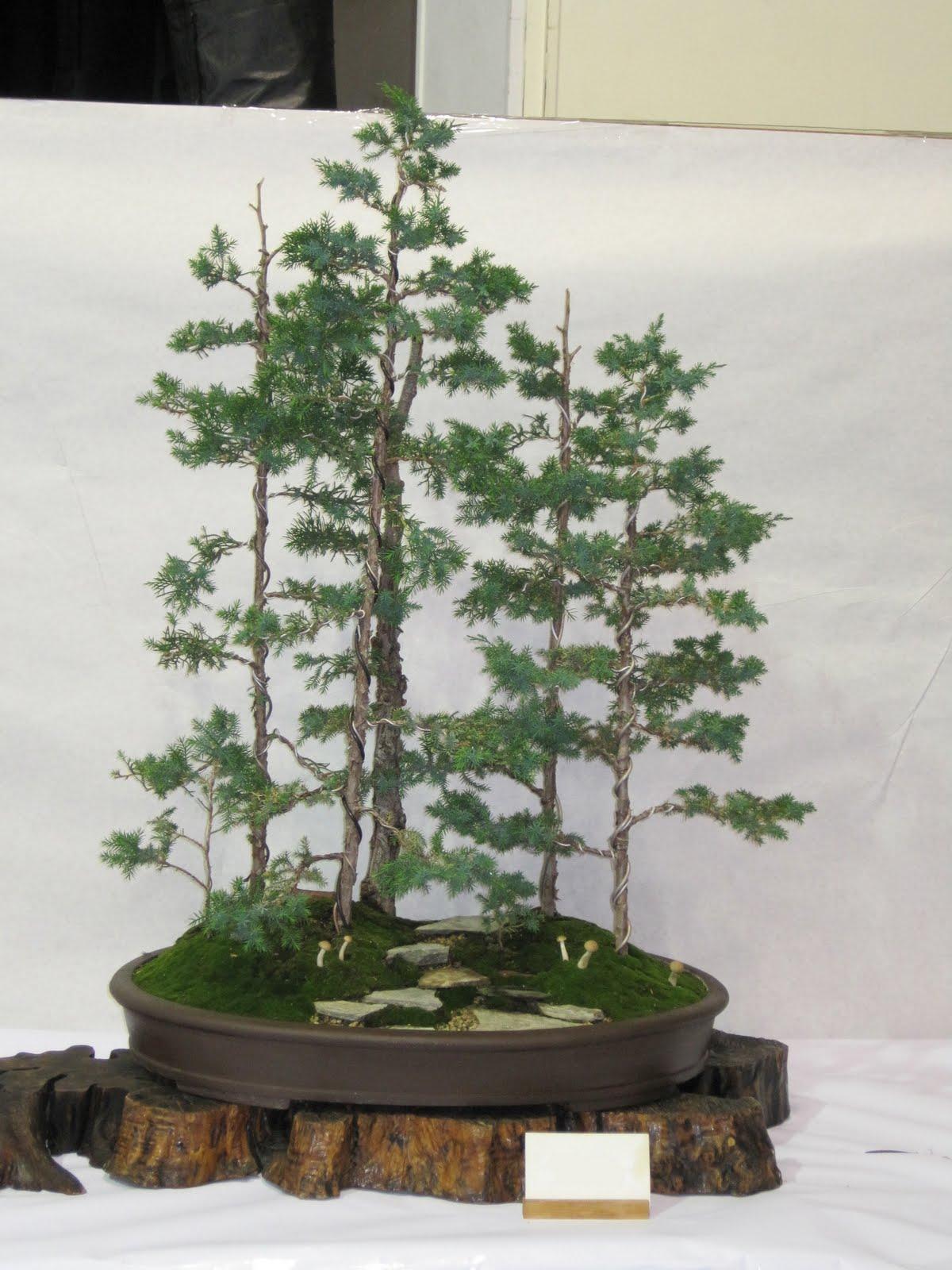 Shochiku Bai Bonsai Club Updated Bonsai Trees For Sale