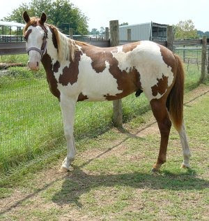 The Major Cowboy Speckled Horse Post 2
