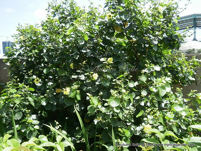 My Nice Garden Hibiscus Tiliaceus Sea Hibiscus