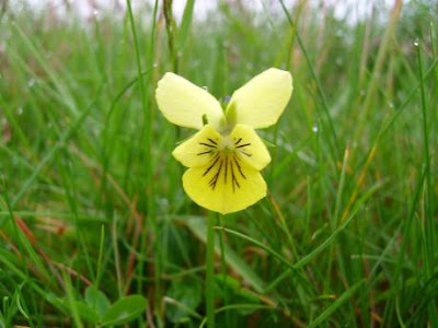 Wild Pansy, Yorkshire