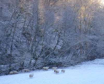 sheep in the early morning snow