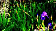 Intense iris, Spring 2008