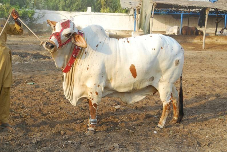 khaqi's blog: Cows for QURBANIQurbani Cow 2009