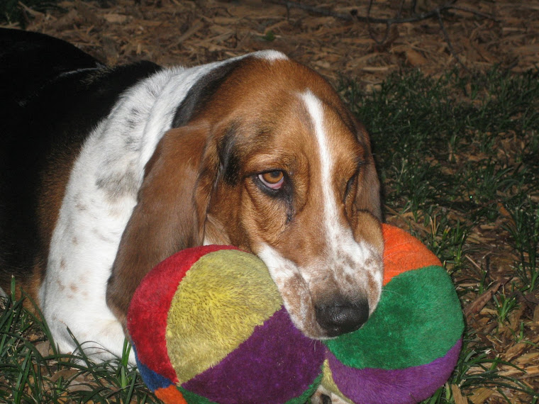 Chloe the Smelly Basset