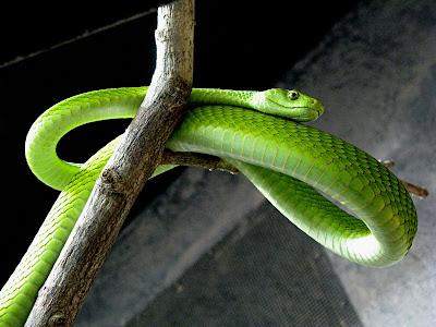 gefahren grüne mamba
