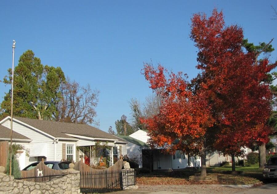 Tulsa Gentleman My October Glory Maples