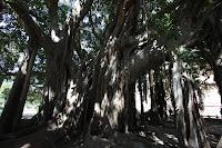 Villa Garibaldi Banyan Tree - Palermo, Sicily