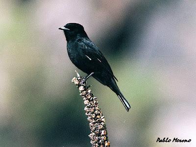 """alt=""""viudita comun,Knipolegus aterrimus macho,aves de Mendoza"""""""