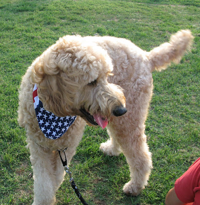 goldendoodle dogs pictures. goldendoodle dogs.