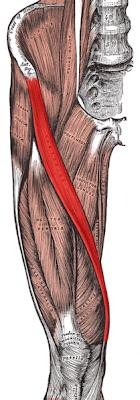 209px Sartorius muscle ¿Cuál es el músculo más largo del cuerpo humano?