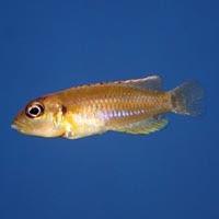 Neolamprologus Ocellatus Gold