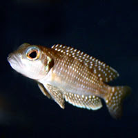 Neolamprologus Meleagris