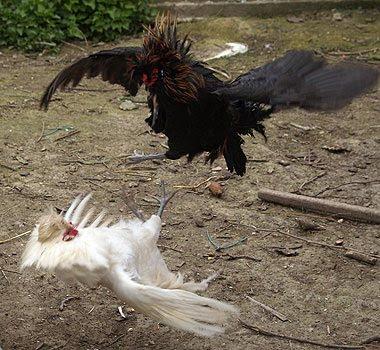 Combattimento tra due giovani galli per il possesso dell'harem. Foto di Andrea Mangoni.