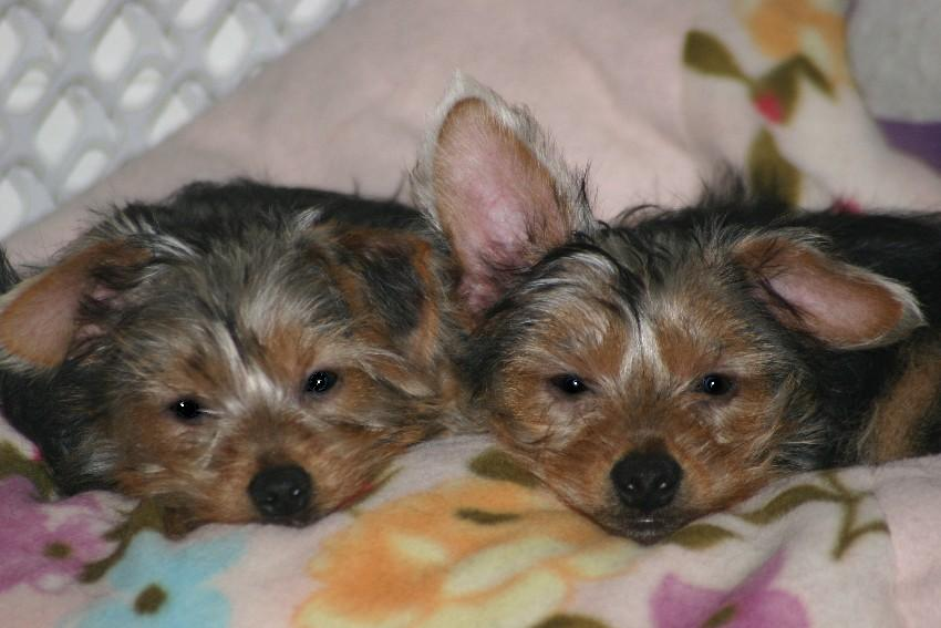 Yorkie Brothers with Tails