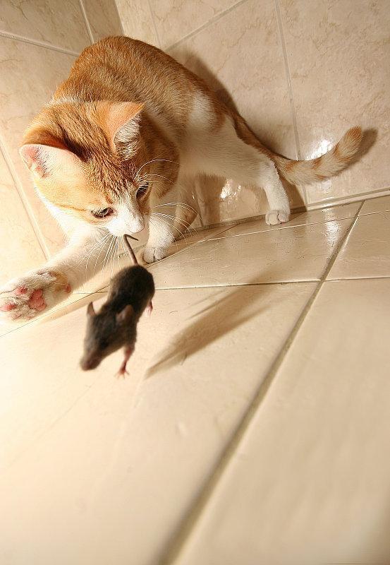 Gato a punto de cazar a un ratón, fotos sin manipular