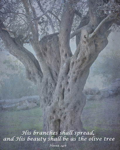 Ancient Olive Tree from Around the Island Photography