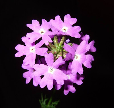 Purple Wildflower Picture