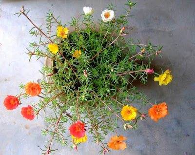 Moss rose plant and flowers