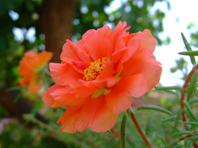 Red moss rose picture