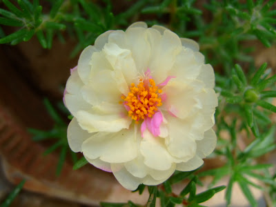 White moss rose picture
