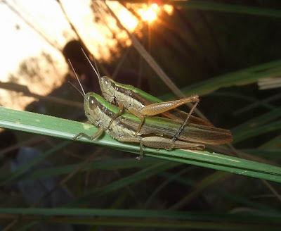 Locusts Mating Picture