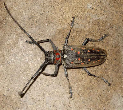 Red-Spotted Longhorn Beetle
