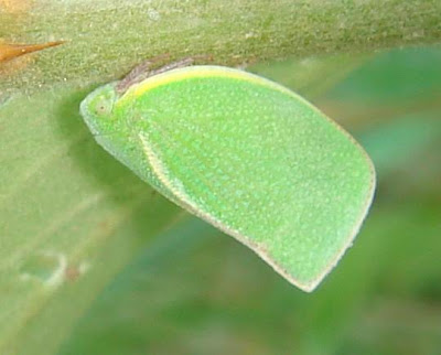 Green planthopper piture
