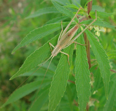 Brown speckled short winged katydid/bush cricket picture
