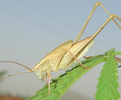 Brown speckled short-winged katydid/bush cricket picture