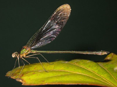 Male Stream Glory Damselfly Picture
