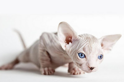 kitty cat picture Shaved